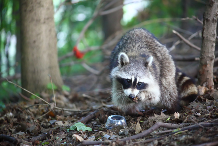 Ways To Keep Raccoons Off Your Roof Wildlife Removal Ajax